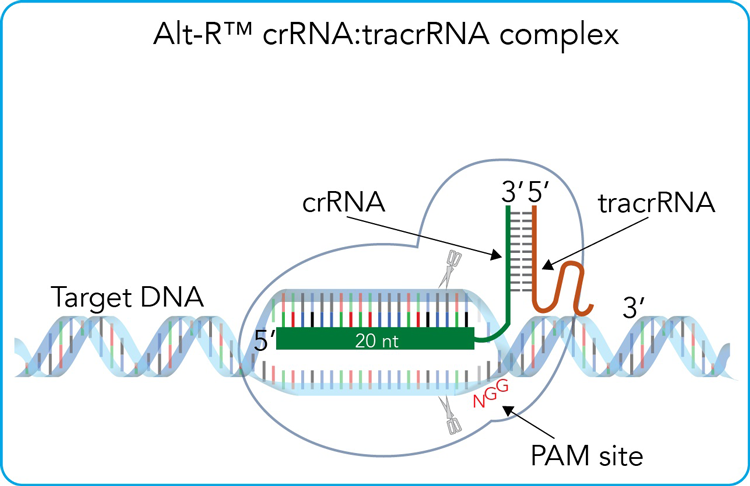 IDT-Alt-R-CRISPR-Cas9-Syste.png