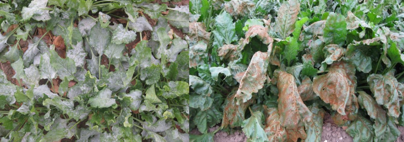 Sugar beet leaf.png