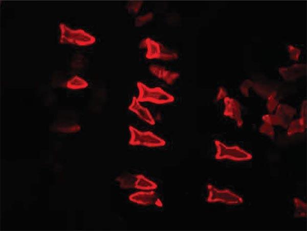 fluorescent-microfish-image.jpg