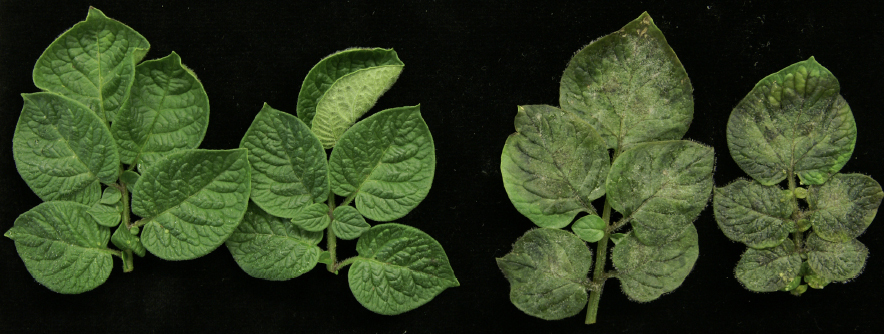 Leaves-with-and-without-late-blight-disease_1_1.jpg