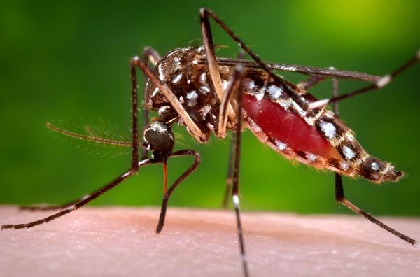 EC-DengueMosquito.jpg