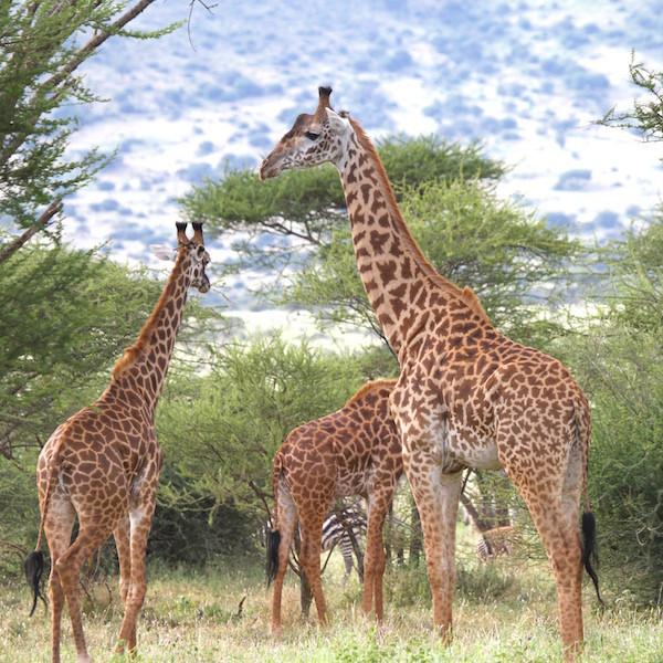3 giraffes 300dpi.jpeg