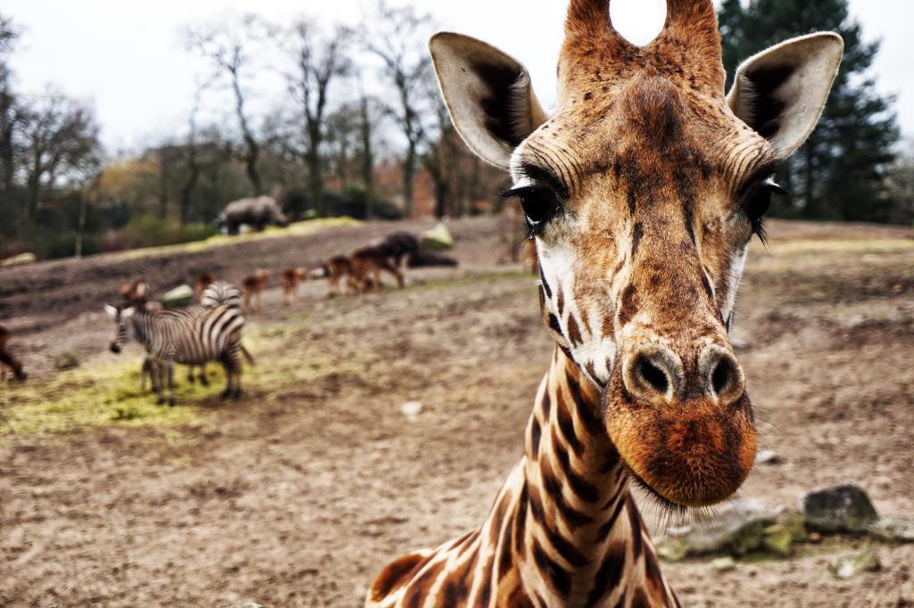 9.9.2016 giraffe.jpg
