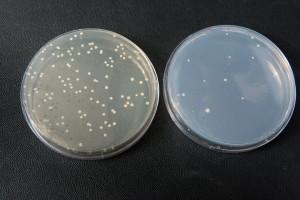 yeast-cells-plates-300x200.jpg