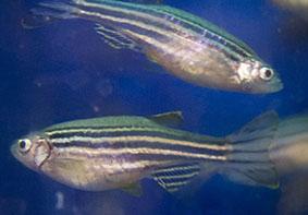 zebrafishweb.jpg