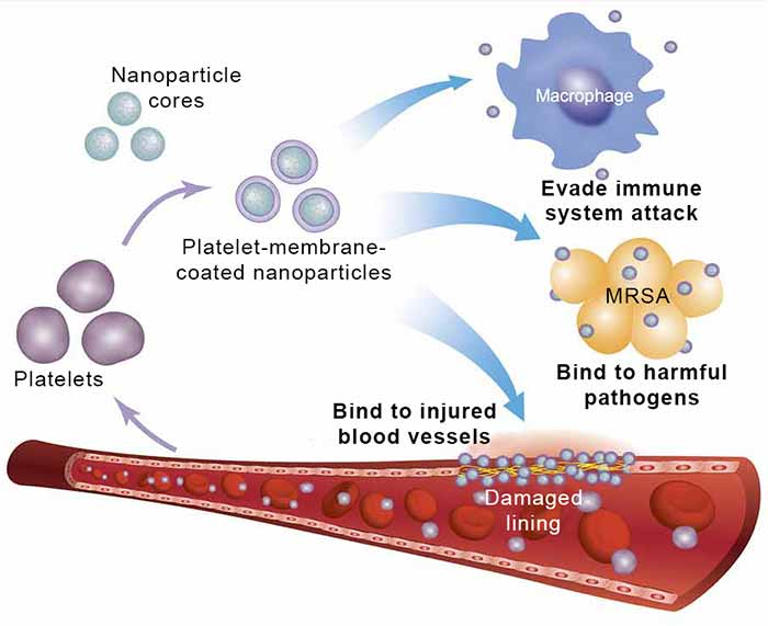 Schematic-of-platelet-nanoparticles-150915-f.jpg