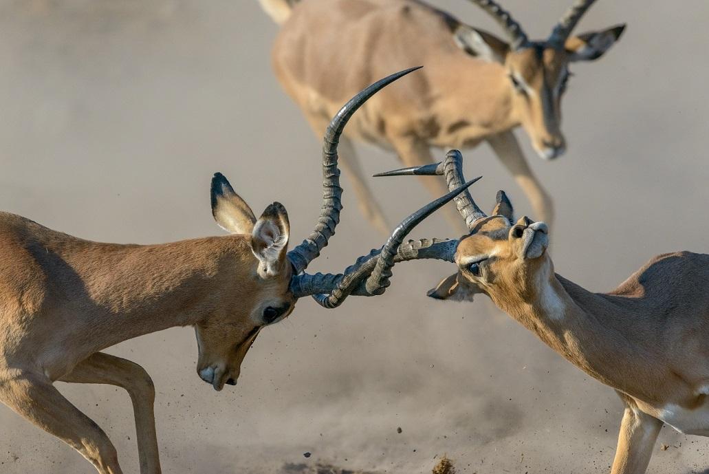 Impala Fighting_Barbara Stanley_LOW RES.jpg